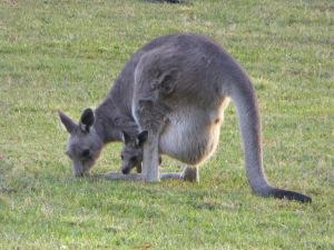 Kangaroo + Joey