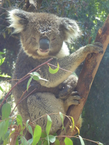 Koala at Healesville Sanctuary